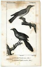 1816 Turpin Cuckoos Coucals Copper Engraving Antique Bird Zoology Print