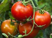 Burnley Surecrop Tomato - Australian Grown 10 Seeds!