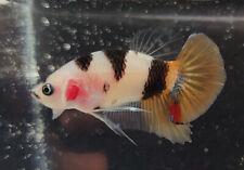 New listing Usa Breeder - live male betta - hmpk - calico koi - rainbow nemo candy genes