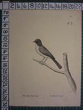 1737 DATED THE CHINA BULL-FINCH BULLFINCH ~ ANTIQUE BIRD PRINT ELEAZER ALBIN ~