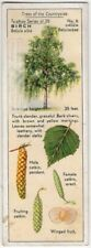 White Birch Tree Butula alba 1930s Trade Ad Card