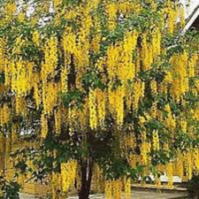 GOLDEN CHAIN TREE, 20+ FRESH SEEDS,  BEAUTIFUL GOLD FLOWERS, FAST GROWING