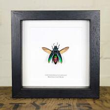 Blue-form Jewel Beetle in Box Frame (Chrysochroa fulminans)
