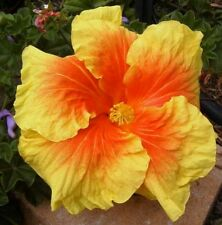 BALI SUNSET Hibiscus rosa sinensis large orange gold flowers plant in 140mm pot