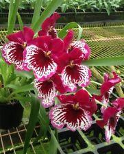 Orchid  Miltoniopsis Morris Chestnut 'Vivian '