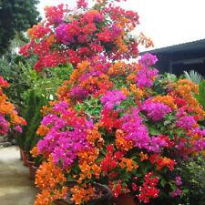 200pcs Mixed Color Bougainvillea Bonsai Flower Plant Seeds Home Garden DecorSP
