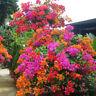 Mischfarbe Bougainvillea Bonsai Blume Pflanzensamen Hausgarten Decor  TG ML