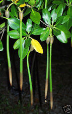 "Red Mangrove Plants 6"" to  9"""" Long x 10"
