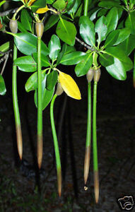 "Red Mangrove Plants 10"" Long X 5 Filters Nitrates And Phosphates"