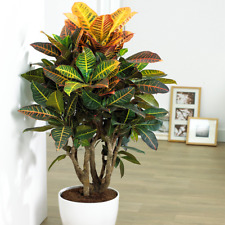 Codiaeum Petra Plant - Vibrant Indoor Decorative Office Houseplant In 13cm Pot