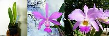 Cattleya walkeriana x gaskelliana, Orchidée, Orchid