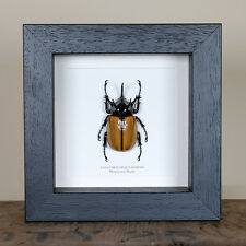Rhinoceros Beetle in Box Frame (Eupatorus gracilicornis) insect taxidermy