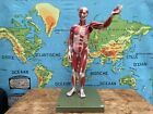 Vintage SOMSO MALE MUSCLE Figure educational model Anatomy model 27 parts body