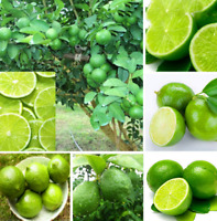 20Pcs Aurantifolia Fruit Seeds Rare Kind Organic Bonsai Citrus Garden Kitchen