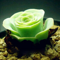 200Pcs Mountain Green Succulents Bonsai Fresh Seeds Indoor Flowers Home Garden