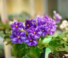 "African Violet Chimera 'Nd-Beauty Queen Sport"" - Plant in Bud!"