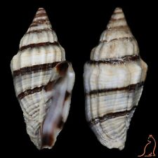 Vexillum rugosum, Philippines, Costellariidae sea shell
