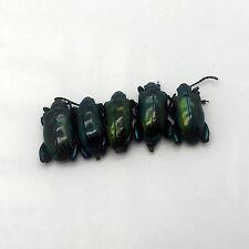 Lot of 5 GIANT Frog-Beetle Sagra Femoralis Taxidermy Indonesian Specimen
