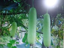 Semillas calabaza asiática OPO. 15 semillas. Mira mis otros artículos.