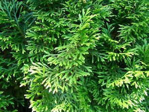 Northern White Cedar   Arborvitae Thuja occidentalis 10 Seeds   (Free Shipping)