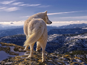 WHITE WOLF ON A MOUNTAIN - 3D SINGLE IMAGE WOLF PICTURE 400mm x 300mm (NEW)