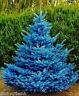 Colorado Sky Blue Spruce Picea Pungens Glauca Tree Seeds - 50 Seeds