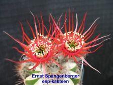 selten, rare: Echinopsis Lobivia Hybride Stern von Reiffelbach