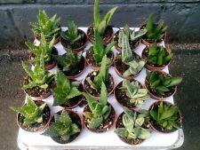 Full Tray 20 x Mixed Aloe Vera Plants In 5.5cm Pots