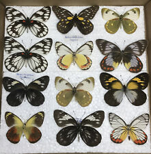 More details for a box of mixed delias tropical butterfly specimens taxidermy collection