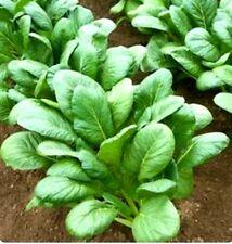 600+  Komatsuna Spinach Mustard Tendergreen Vegetable Seeds