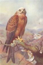 BRITISH BIRDS. Kite. THORBURN 1925 old vintage print picture