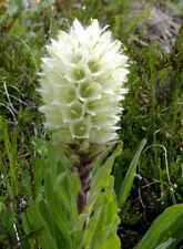 Campanula thyrsoides Yellow Bellflower 15 seeds