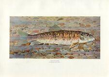Early 1900s Antique Fish Print ~ Chub Sucker