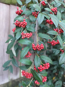 Cotoneaster hylmoei -  Evergreen Wall or free standing Shrub Plant in 9cm Pot