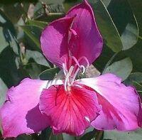 Terrasse Wintergarten Samen exotische Zierpflanze selten ORCHIDEENBAUM-PURPUREA