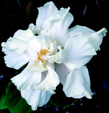"""Hibiscus rosa sinensis """"White Kalakua"""" x 1 small plant. Ask for combined postage"""