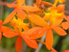 Crucifix Orchid, 'Sunset Orange', 2 Aerial cuttings w. roots.