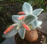 Sinningia Leucotricha Rare live caudex succulent plant