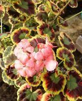US-Seller 50 PCS Pelargonium Peltatum Seeds for Mini Indoor Bonsai Home Garden