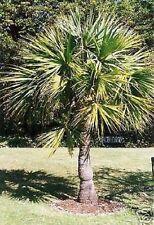 Sabal minor Palme / bewurzelte Jungpflanze bildet Ableger Balkonblume Duftstaude