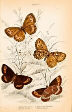 Jardine Butterfly Print - Hand Colored Copper Engraving - 1835 - SCOTCH ARGUS