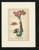 Antique Botanical Print - Edward Stepp - Cobwebby Houseleek Pl 99