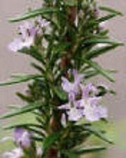 Hardy Rosemary Herb Perennial Starter Plant