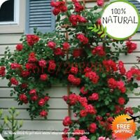 Bonsai 100 Rose Seeds Plants Tree Diy Garden Rare Home