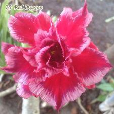 Adenium Obesum Desert Rose Plants Double-flowered Easy Care Bonsai New Hybrids