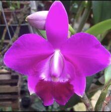 Lc Mini Purple (L. Pumila 'Orchid Dynasty' X C. Walkeriana 'Thanh Nhi') (15)