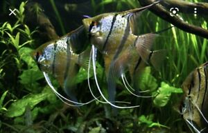 True Wild Peruvian Altum Red Spot Angelfish Adult Beautiful Live Tropical Fish