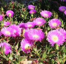100x AUSSIE PINK PIG FACE Carpobrotus glaucescens native groundcover plants 50mm
