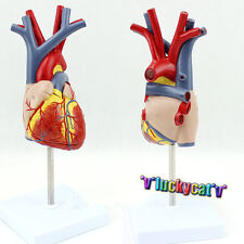 New Human Heart Anatomy Model in 2 part with Removable Stand