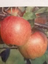 4ft - 5ft Potted Braeburn Apple Fruit Tree 2 Year old
